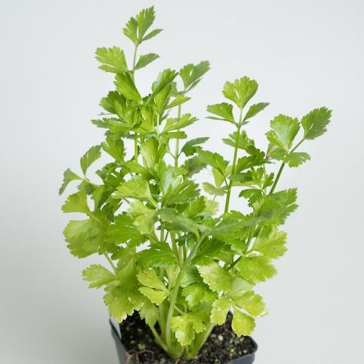 Picture of Parsley (pot)